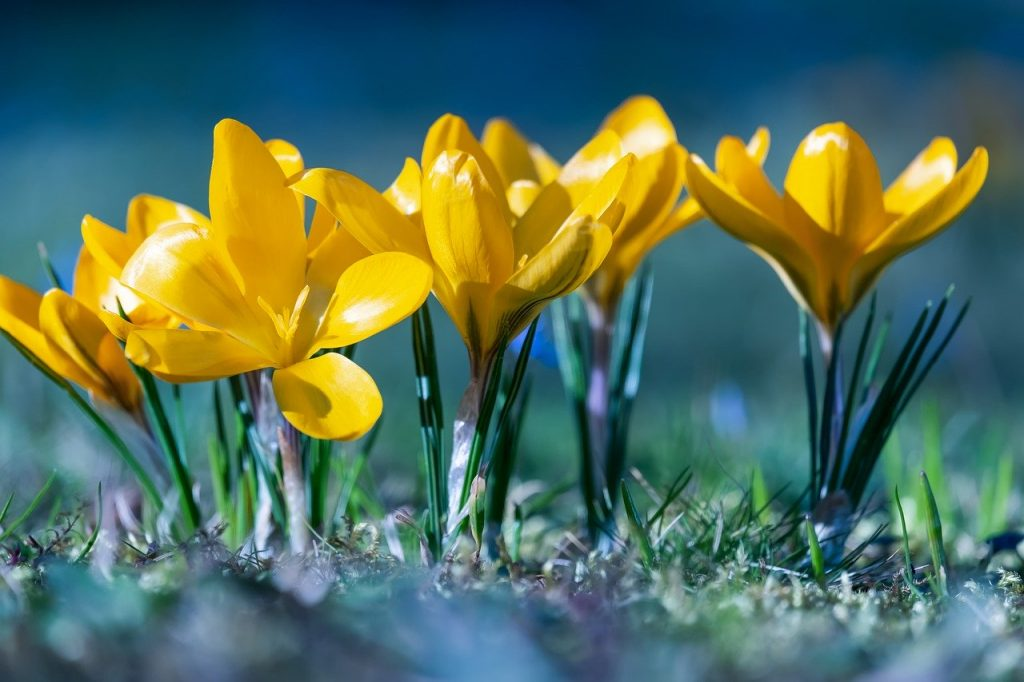 crocus, flowers, bloom